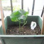 キュウリベランダ栽培、15日目で花が咲いていた成長記録