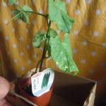 きゅうり苗培養土セットを購入。初心者プチ家庭菜園に挑む!